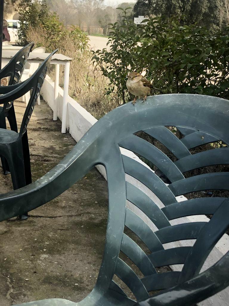 Gorrión en respaldo de una silla pidiendo comida