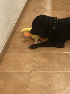 En la foto, Goleta jugando con su gran pato amarillo que le encanta.
